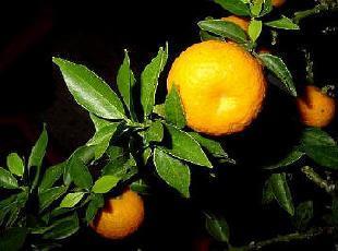 Poudre de Plante médicinale d'Orange (feuille), Citrus aurantium