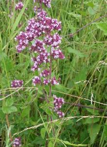 Poudre de Plante médicinale d'Origan (sommité), Origanum vulgare