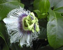 Plante médicinale de Passiflore (plante), Passiflora incarnata