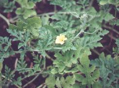 HUILE VÉGÉTALE de Pastèque (Citrullus vulgaris)