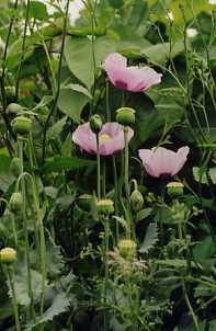 Plante médicinale de Pavot bleu (semence), Papaver somniferum BIO
