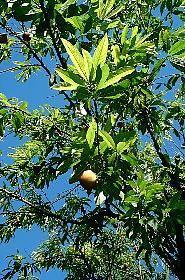HUILE VÉGÉTALE de Noyaux de Pêche (Prunus persica)
