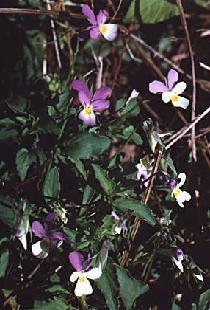 Plante médicinale de Pensée sauvage (plante), Viola tricolor BIO