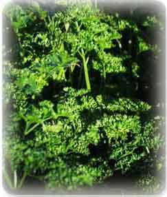 Plante médicinale de Persil (plante), Petroselinum hortense BIO