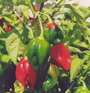 Plante médicinale de Piment fort, (Capsicum frutescens) BIO