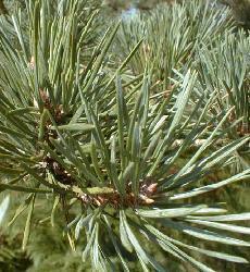 Plante médicinale de Pin sylvestre (aiguille), Pinus sylvestris