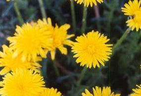Plante médicinale de Pissenlit (feuille), Taraxacum officinale