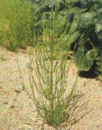 Plante médicinale de Prêle (plante), Equisetum arvense