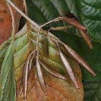 Plante médicinale de Quinquina jaune (écorce), Cinchona officinalis