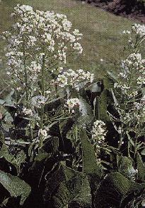 Plante médicinale de Raifort (racine), Cochlearia armorica