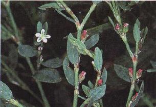 Plante médicinale de Renouée des oiseaux (plante), Polygonum aviculare BIO