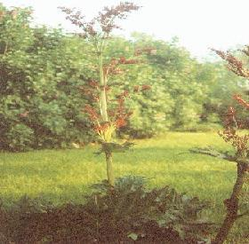 Plante médicinale de Rhubarbe de chine (racine), Rheum palmatum
