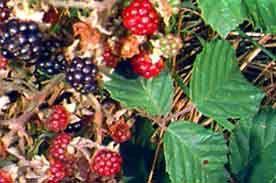 Plante médicinale de Ronce (feuille), Rubus fructicosus