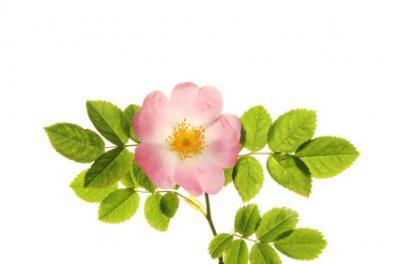 Gélules de Rose, Rosa gallica