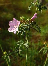 Plante médicinale de Rose trémière (fleur), Alcea rosa