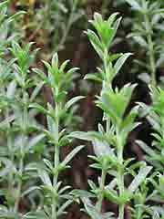 GÉLULES de Sarriette (250 mg), BIO