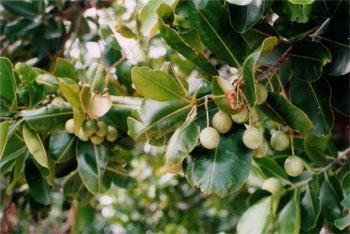 HUILE ESSENTIELLE de Saro (Cinnamosma fragrans)