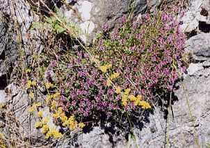 Plante médicinale de Serpolet (plante), Thymus serpyllum BIO