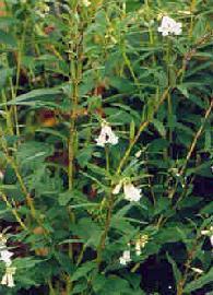 Plante médicinale de Sésame blanc (semence), Sesamum indicum