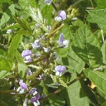 Plante médicinale de Soja (semence), Glycine soja