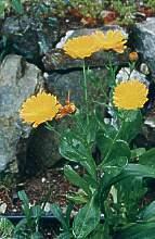 Plante médicinale de Souci (pétale), Calendula officinalis
