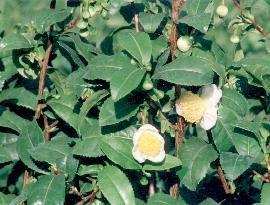 Poudre de Plante médicinale de Thé vert (feuille), Camellia sinensis