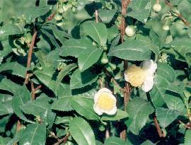 Plante médicinale de Thé vert (feuille), Camellia sinensis BIO