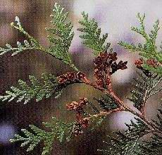 HUILE ESSENTIELLE de Thuya (Thuya occidentalis)