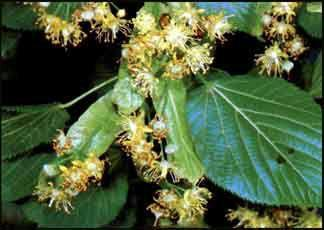Plante médicinale de Tilleul officinal (aubier), Tilia cordata et Tilia platyphyllos