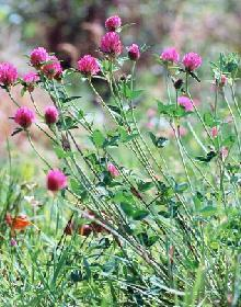 GELULES de Trèfle rouge (250 mg), Trifolium pratense