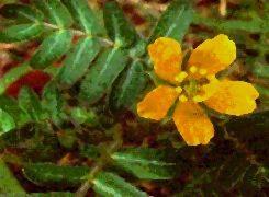 Poudre de Plante médicinale de Tribulus (plante), Tribulus terrestris
