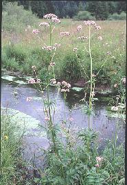 Plante médicinale de Valériane (racine), Valeriana officinalis