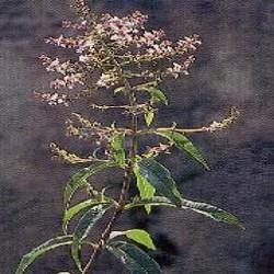 HUILE ESSENTIELLE de Verveine citronné (Lippia citriodora)