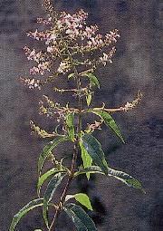 Plante médicinale de Verveine (feuille), Lippia citriodora
