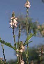 Plante médicinale de Verveine officinale (plante), Verbena officinalis