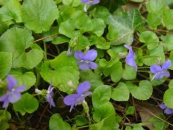 Poudre de Plante médicinale de Violette (fleur), Viola odorata