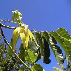 HUILE ESSENTIELLE de Cananga (Cananga odorata)