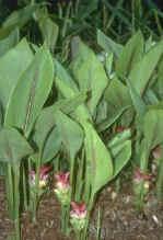 Poudre de Plante médicinale de Zedoaire (racine), Curcuma zedoaria